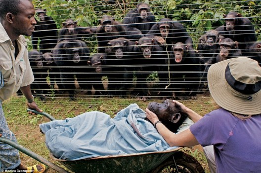 Chimpanzees intently observing the body of a deceased friend