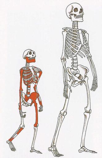 Modern human skeleton with Lucy (Australopithecus afarensis)