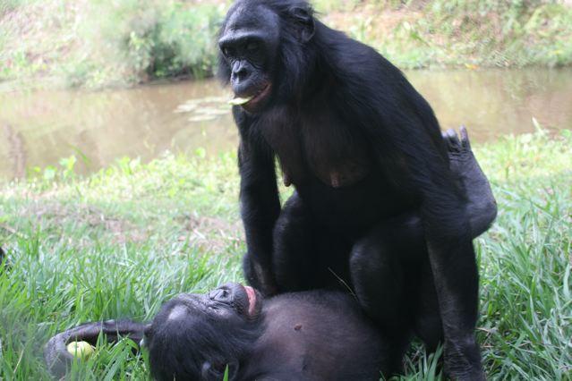 Bonobo sex. From Lola ya Bonobo