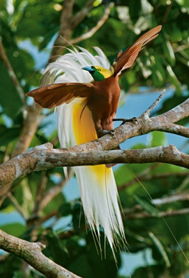 Feathers as display and for flight. Lesser bird of paradise, New Guinea. (Tim Laman, National Geographic)