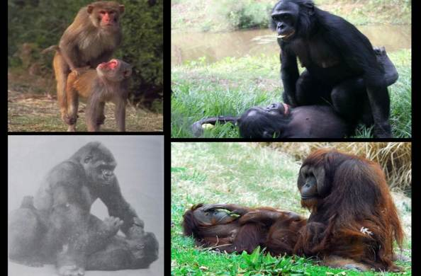 Ventro-ventral copulation is not limited to humans. Clockwise from top left: rhesus macaques, bonobos, orangutans, gorillas. The first is a monkey; the last three are apes.