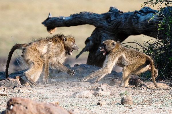 baboon fight