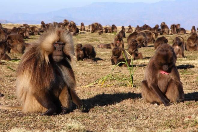Gelada baboons in Ethiopia (source: http://www.rockjumperbirding.com/wp-content/gallery/gallery-destination-ethiopia/geladas-by-markus-lilje.jpg).