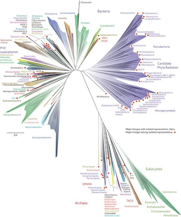 "The tree of life. ""The new tree of life that researchers published on Monday. It shows that much of Earth's biodiversity is bacteria, top, half of which includes ""candidate phyla radiation"" that are still waiting to be discovered. Humans are in the bottom branch of eukaryotes."" Source."