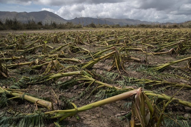 Plantain trees flattened by Hurricane Maria in Yabucoa, P.R. In a matter of hours, the storm destroyed about 80 percent of the crop value in Puerto Rico, the territory's agriculture secretary said. Credit Victor J. Blue for The New York Times